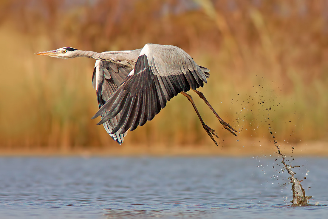 Photograph Grey Heron by Roy Avraham on 500px