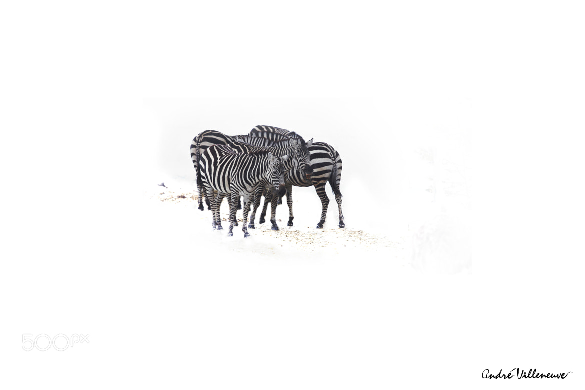 Photograph Zebras in winter by Andre Villeneuve on 500px