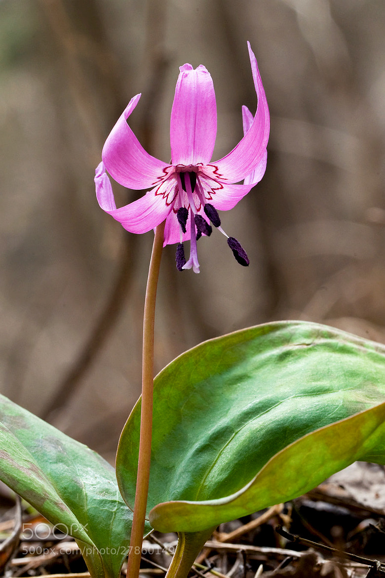 Photograph Dog tooth violet by LEE INHWAN on 500px