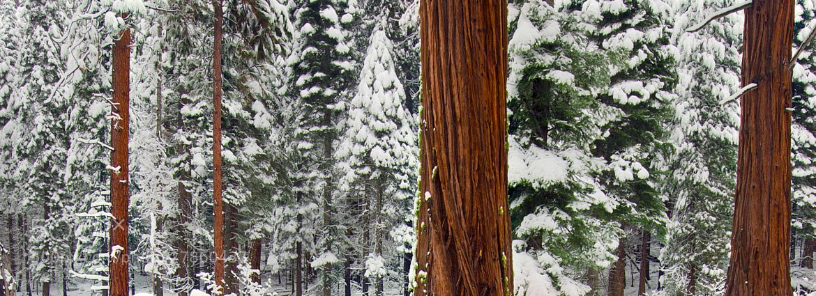 Photograph Evergreen Winter by Dustin Penman on 500px