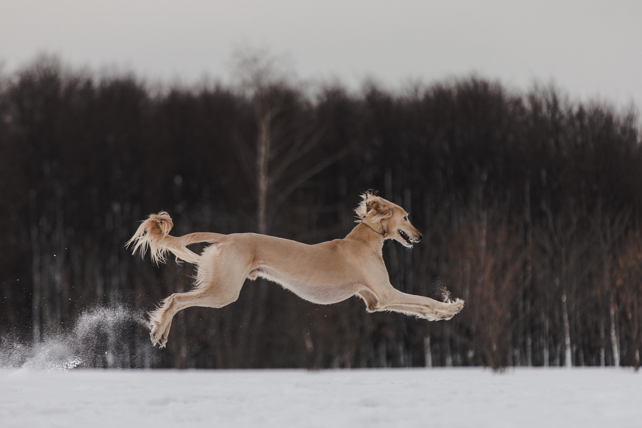 Photograph Flying Saluki by Artem Sapegin on 500px