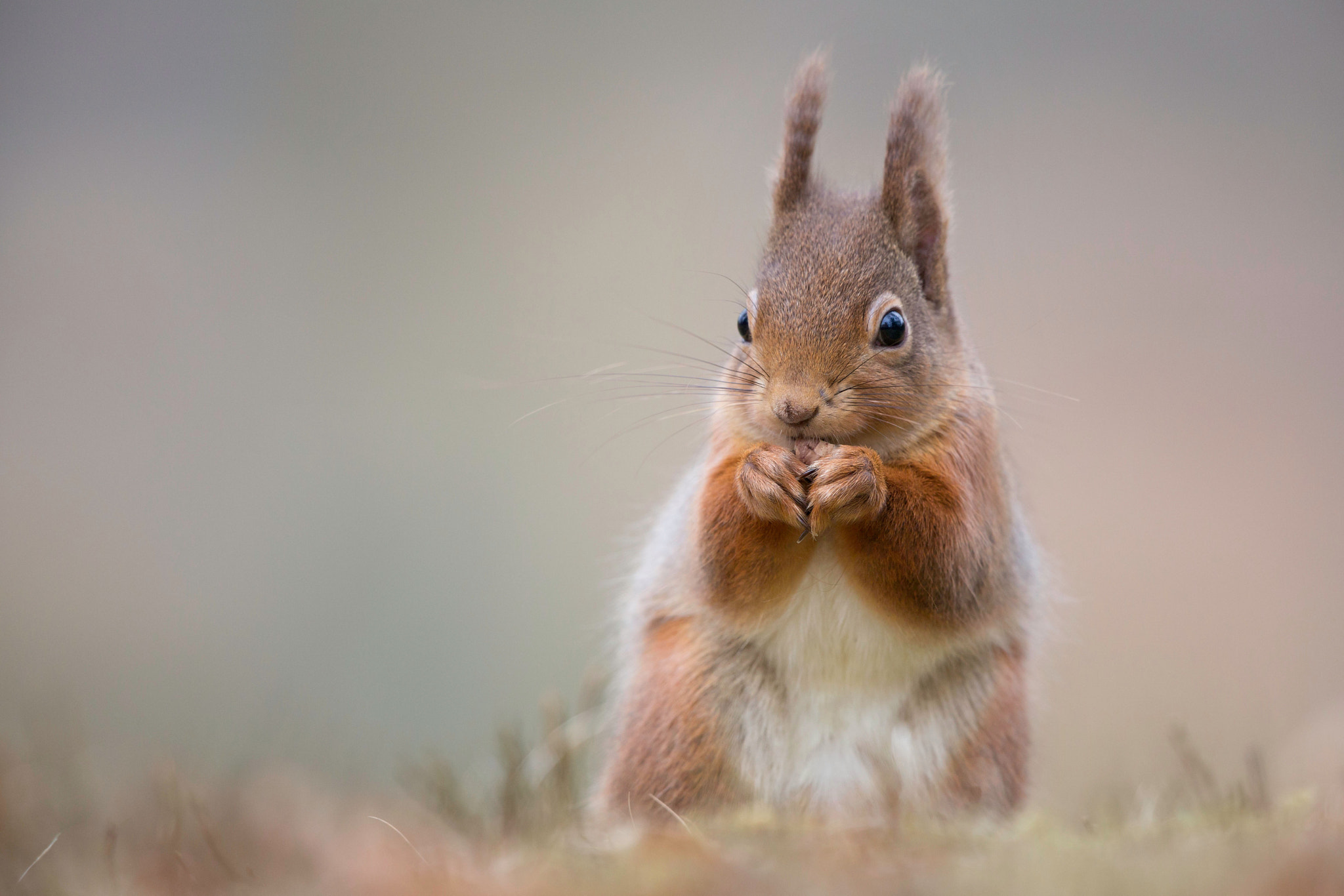 Photograph Red Squirrel Cuteness!  by Sue Demetriou on 500px
