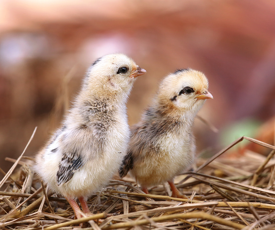 Photograph New Born Chicks by Prachit Punyapor on 500px