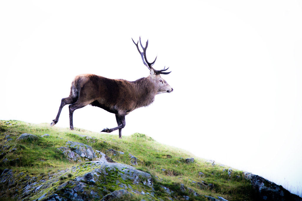 Photograph A Cairngorm Stag by Carl Stovell on 500px