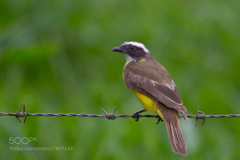 Photograph Social Flycatcher (Myiozetetes similis) by Bertrando Campos on 500px
