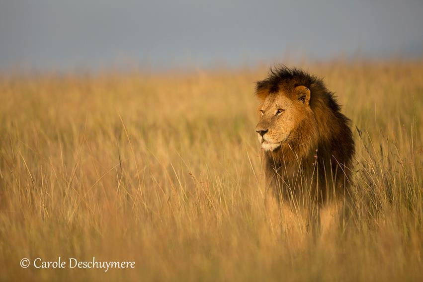 Photograph Prince of the Mara by Deschuymere Carole on 500px
