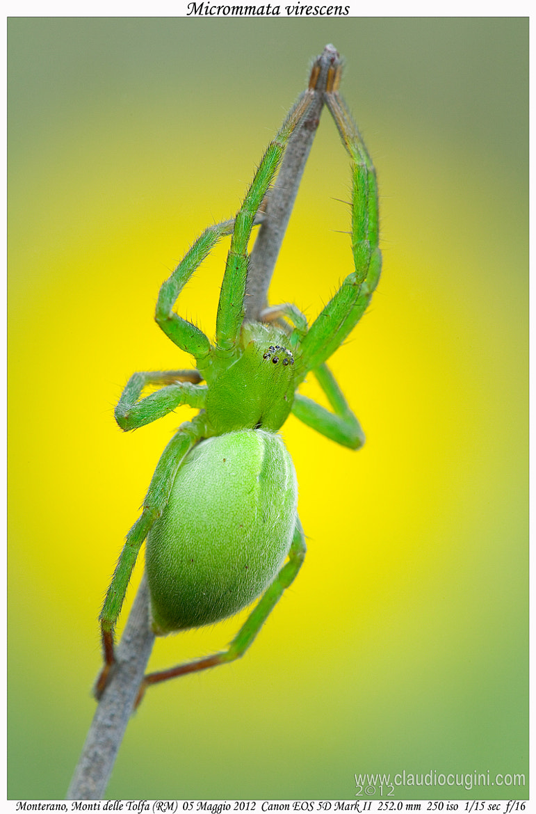 Photograph Micrommata virescens by Claudio Cugini on 500px