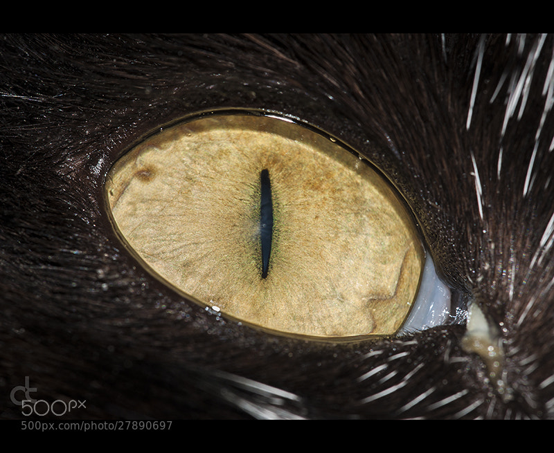 Photograph Cat Eye by Can Tunçer on 500px