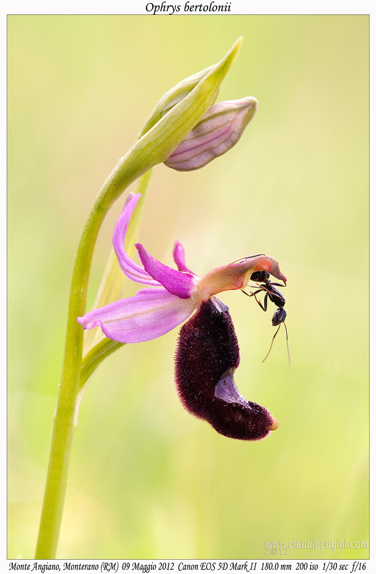 Photograph Ophrys bertolonii & ant by Claudio Cugini on 500px