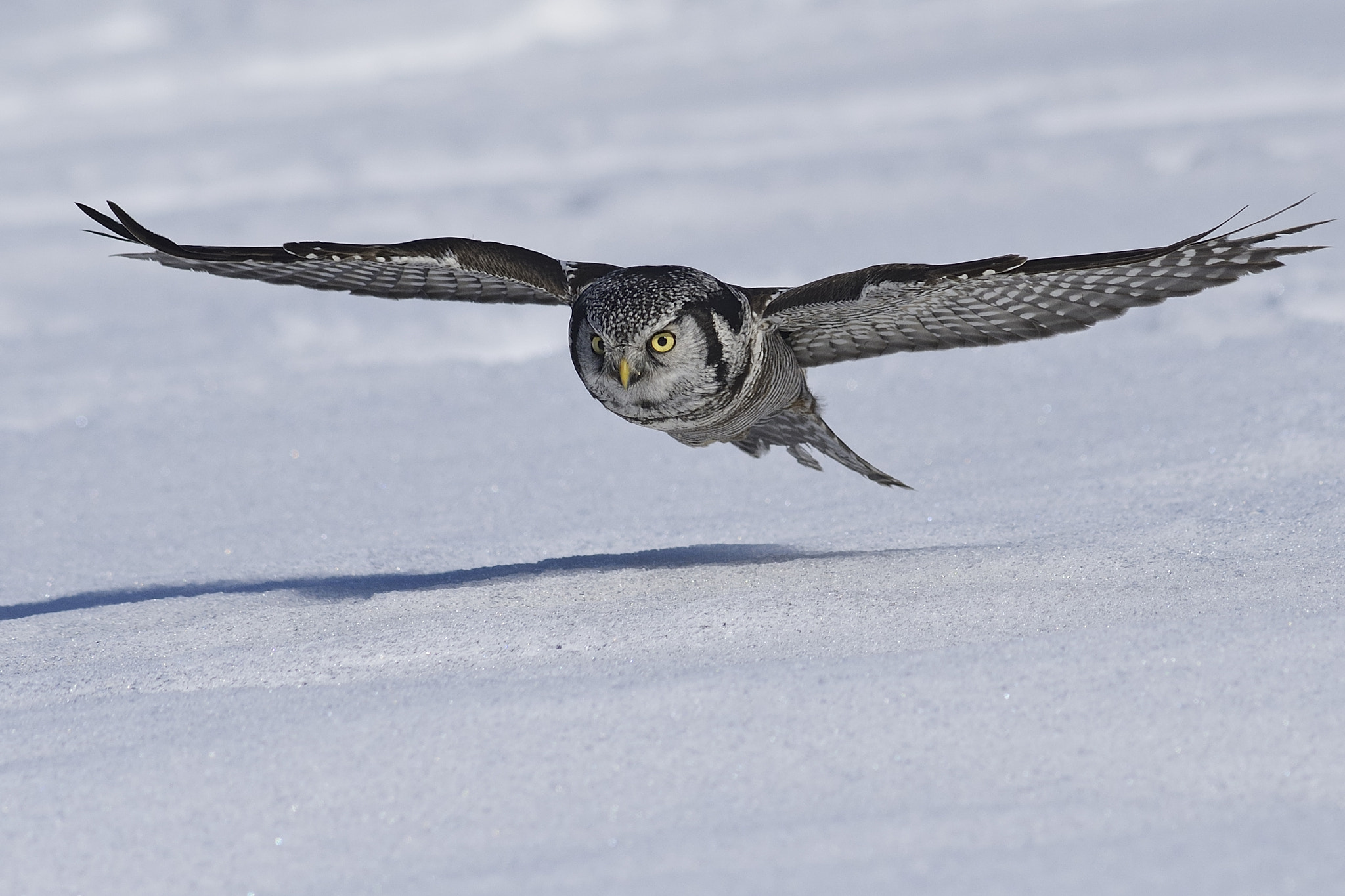 Photograph Northern Hawk-Owl by Dominic Roy on 500px