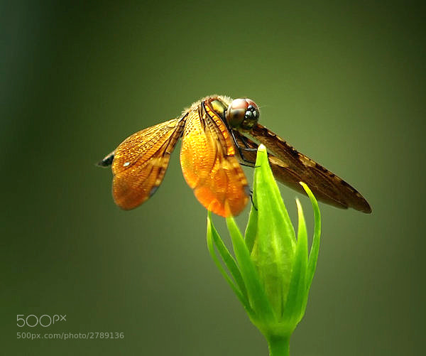 Photograph dragonfly by johanes  siahaya on 500px