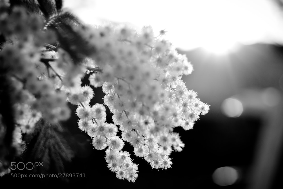 Photograph Mimose B&W by lollienzo on 500px