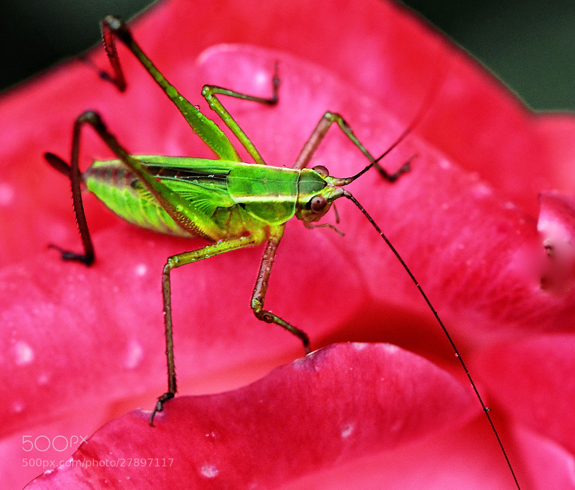 Photograph Hopper on the rose by Cris T on 500px