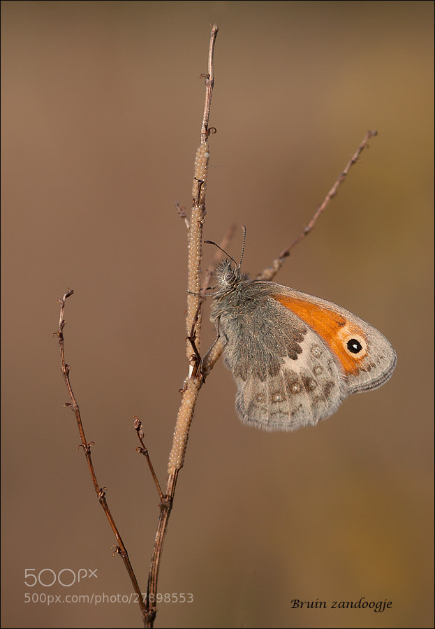Photograph  Brown arguse by marleen aerts on 500px