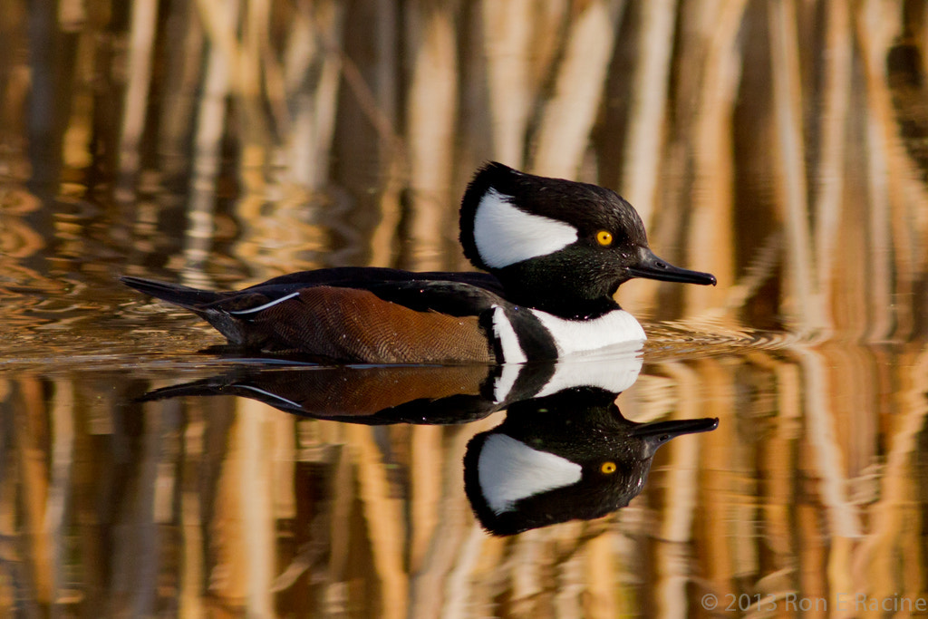 Photograph Mr Hooded Merganser by Ron E Racine on 500px