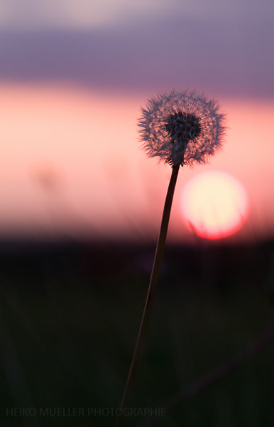 Photograph Blowball in the sunset by Heiko Mueller on 500px