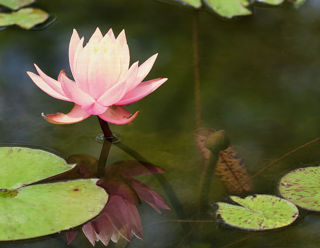 Photograph Water Lily by Sharon Smith on 500px