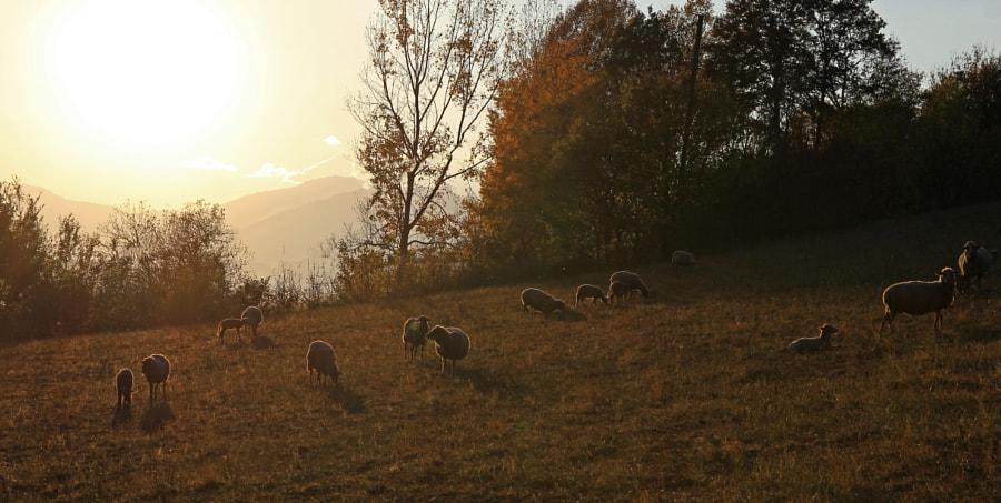 Evening sheep, автор — Julien PALAYODAN на 500px.com