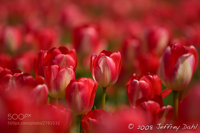 Photograph Red Tulips by Jeffrey Dahl on 500px