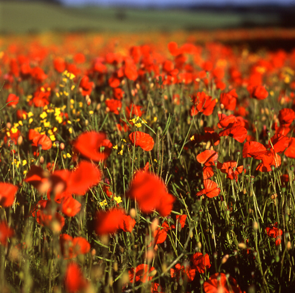 Photograph Red Poppy Field by Christopher Hawkins on 500px