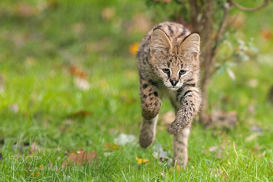 Photograph Serval Kitten by Johannes Wapelhorst on 500px