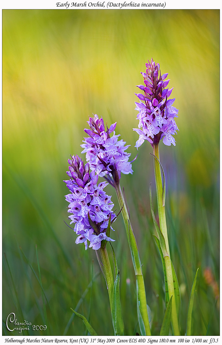 Photograph Early marsh orchid at sunset by Claudio Cugini on 500px