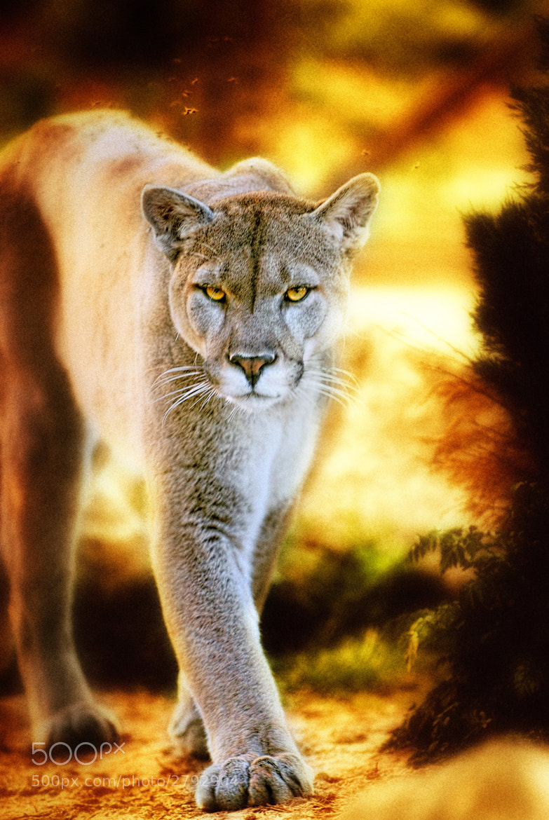 Photograph Mountain Lion by Erick Gfeller on 500px