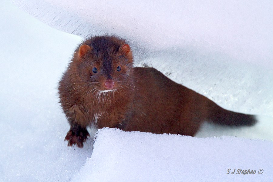 Photograph American Mink by Stephen Stephen on 500px