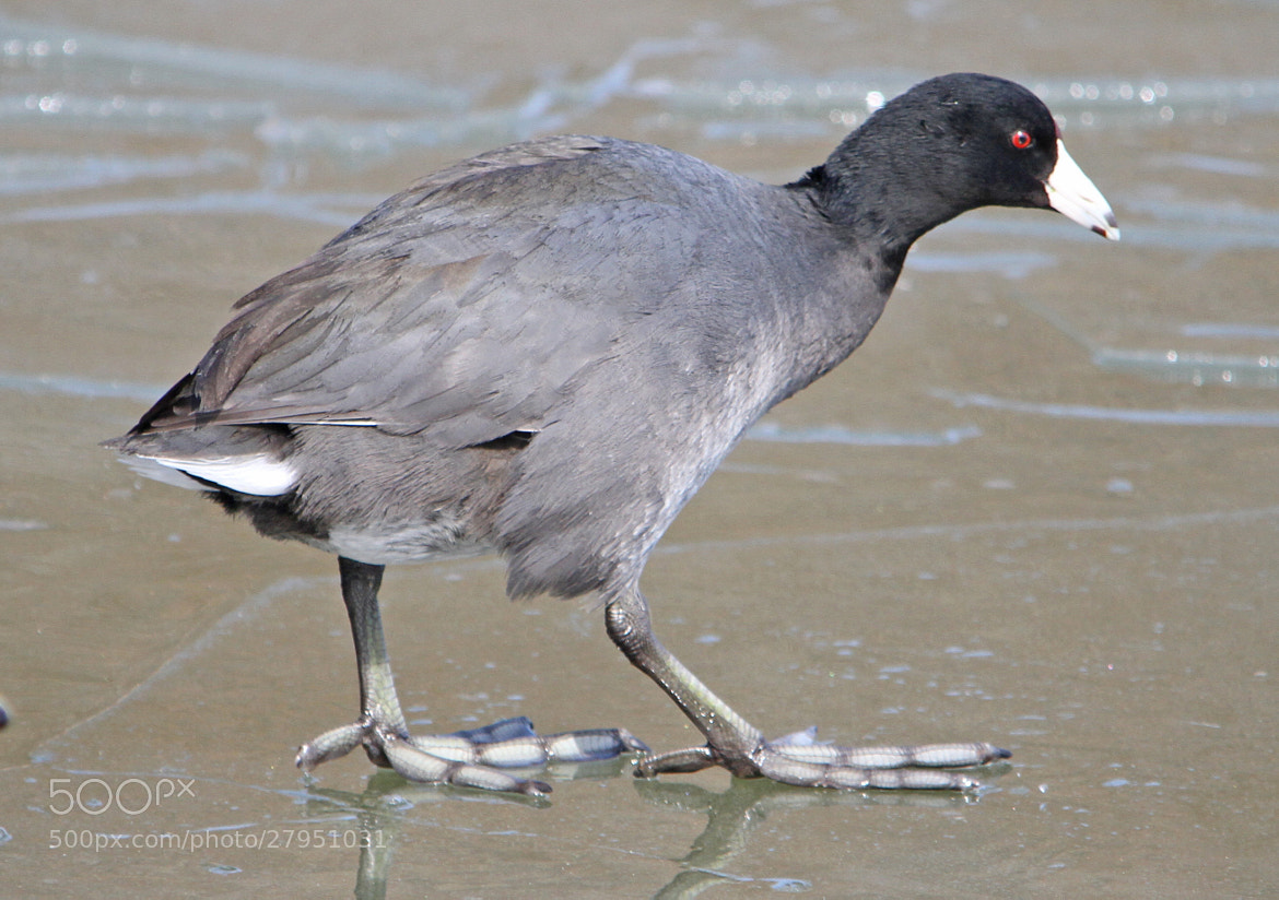 Photograph American Coot by Scott Dodgson on 500px