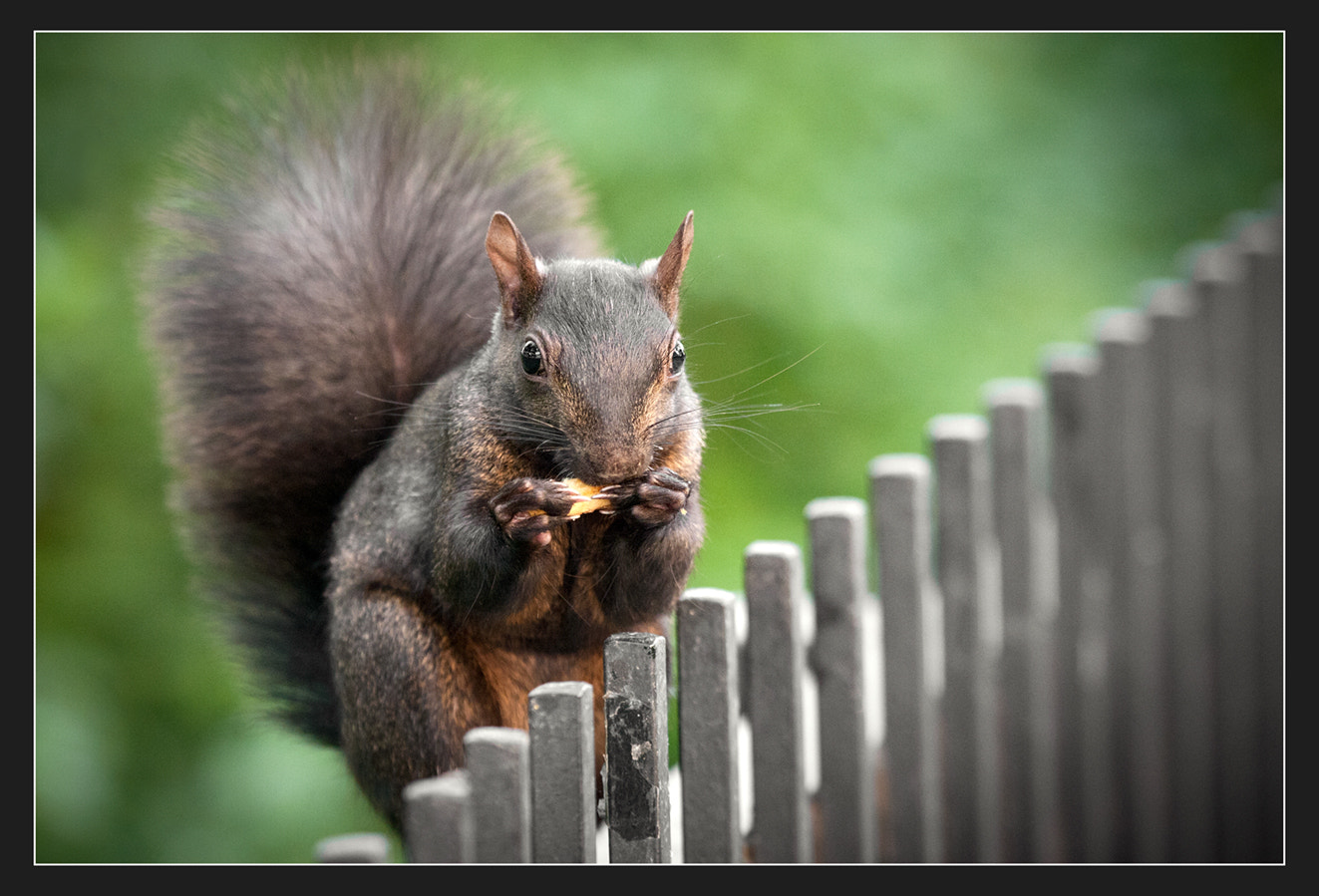 Photograph Famous Canadian Squirrel by Moreno Bartoletti on 500px