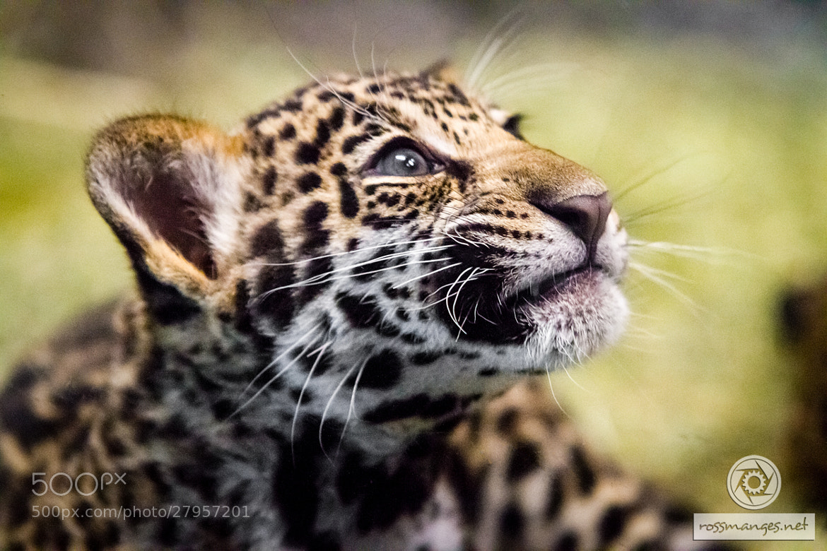 Photograph Baby Jag! by Ross Manges on 500px