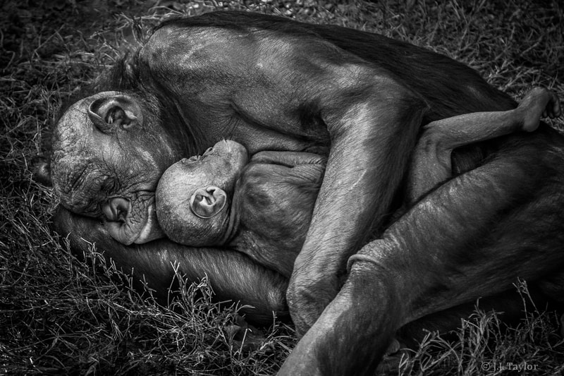 Photograph Bonobo Mother and Baby by J.J. Taylor on 500px