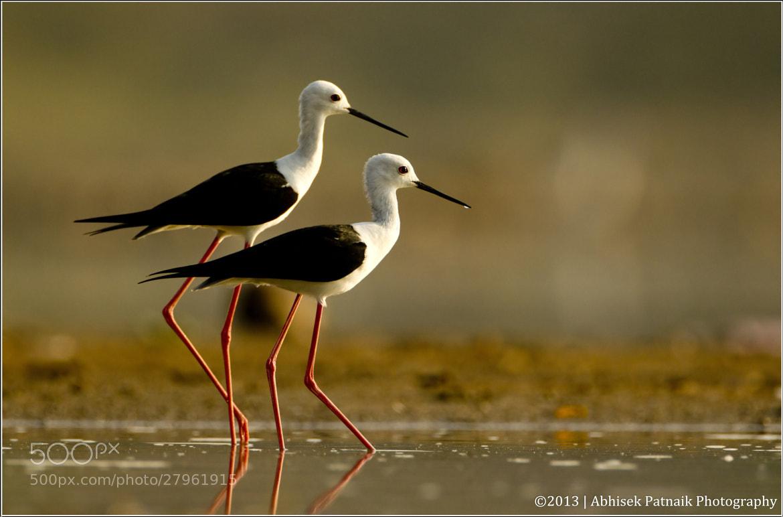 Photograph Black Winged Stilt Couple by Abhisek Patnaik on 500px