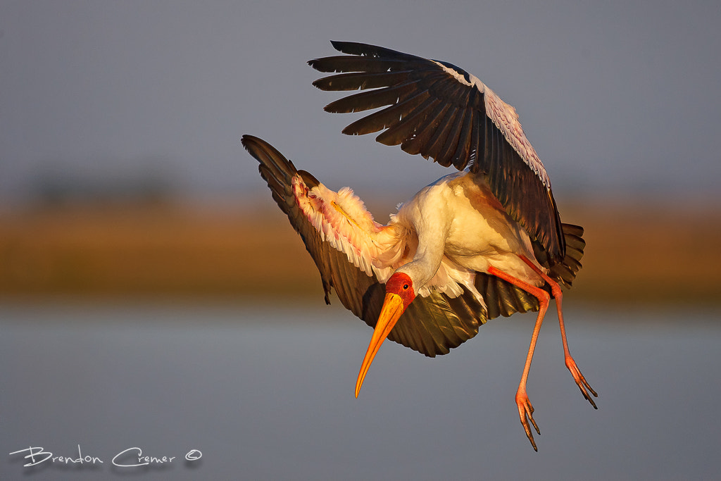 Photograph Yellow billed Stork Landing by Brendon Cremer on 500px