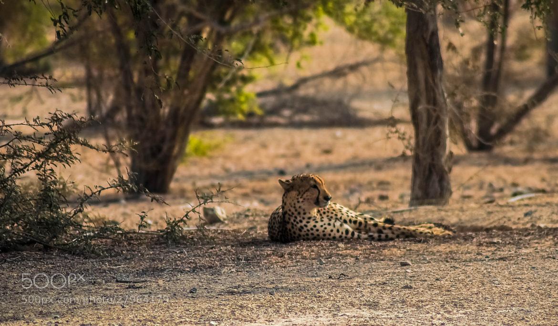 Photograph Lazy Days - The Cheetah by julian john on 500px
