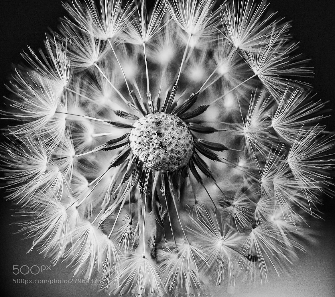 Photograph Dandelion 2 by Margaret Morgan on 500px