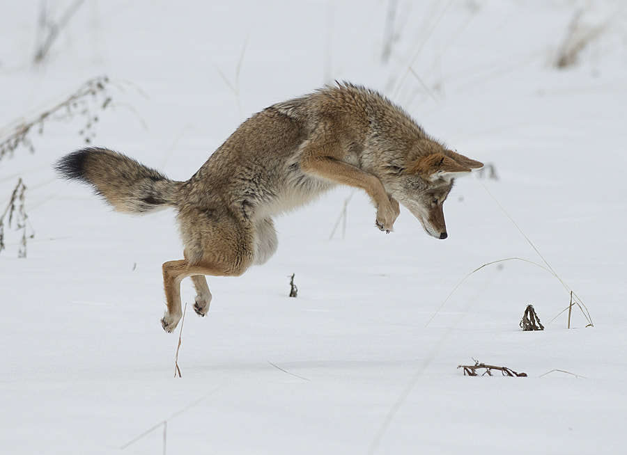 Photograph Coyote Jump by Dan Newcomb on 500px