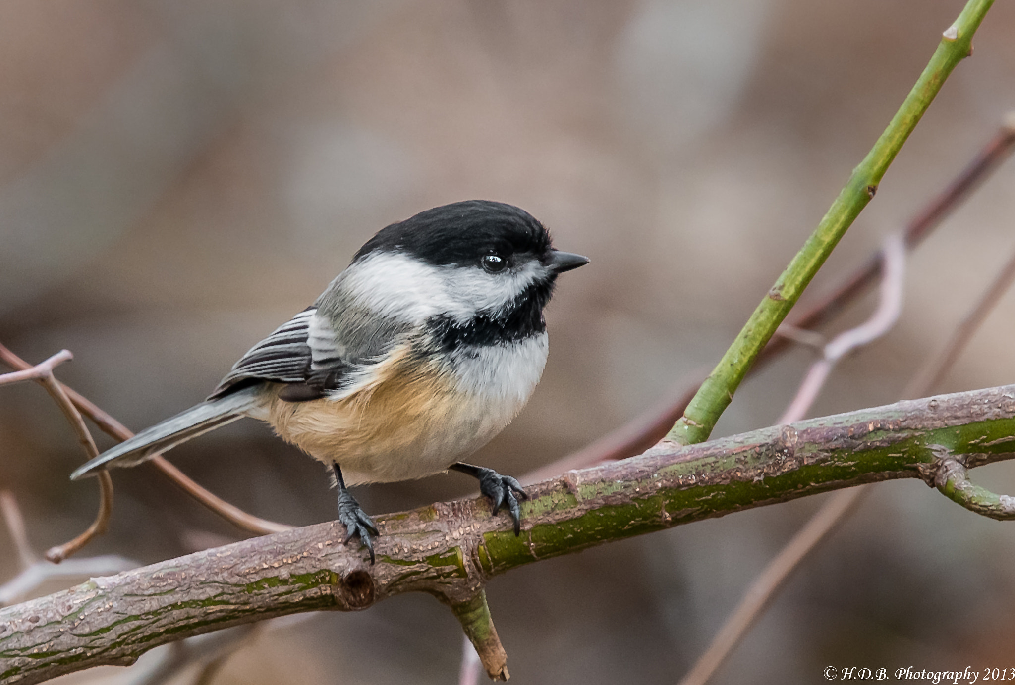 Photograph Black -capped Chickadee by Harold Begun on 500px