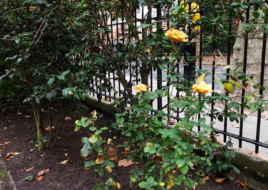 Millbank Gardens, London by Sandra  on 500px.com
