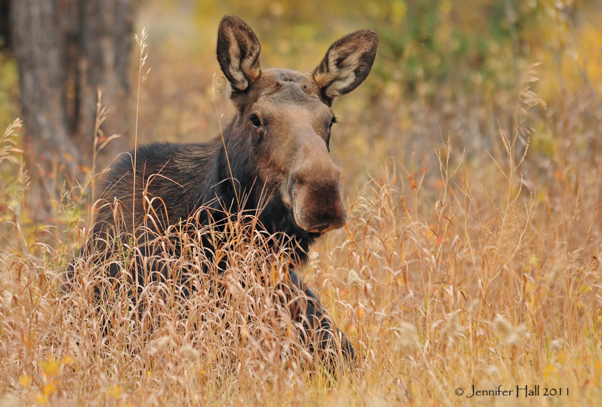 Photograph Cow Moose by Jen Hall on 500px