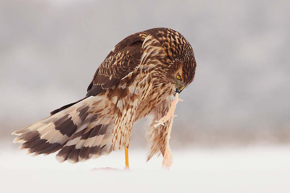 Photograph lunch  /Northern Harrier/ by Hencz Judit on 500px
