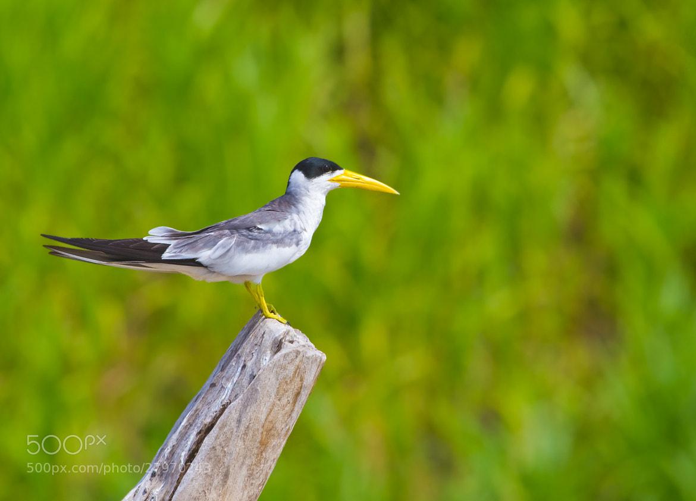 Photograph Large-billed Tern (Phaetusa simplex) by Bertrando Campos on 500px