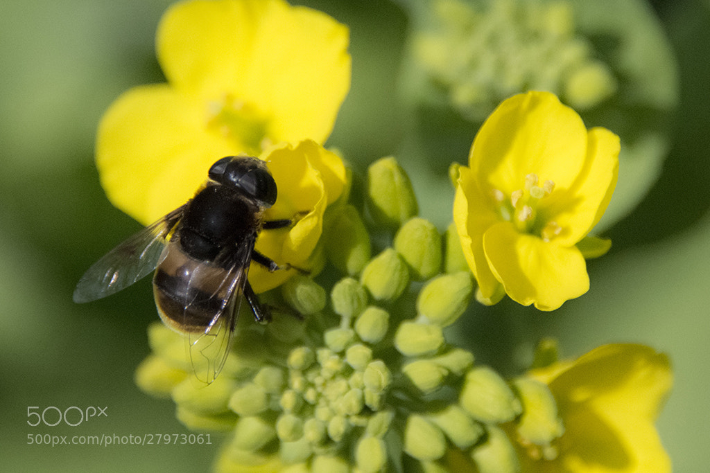 Photograph Bee by t_aLee on 500px