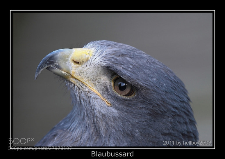 Photograph Blaubussard by Jörg David Photography  on 500px