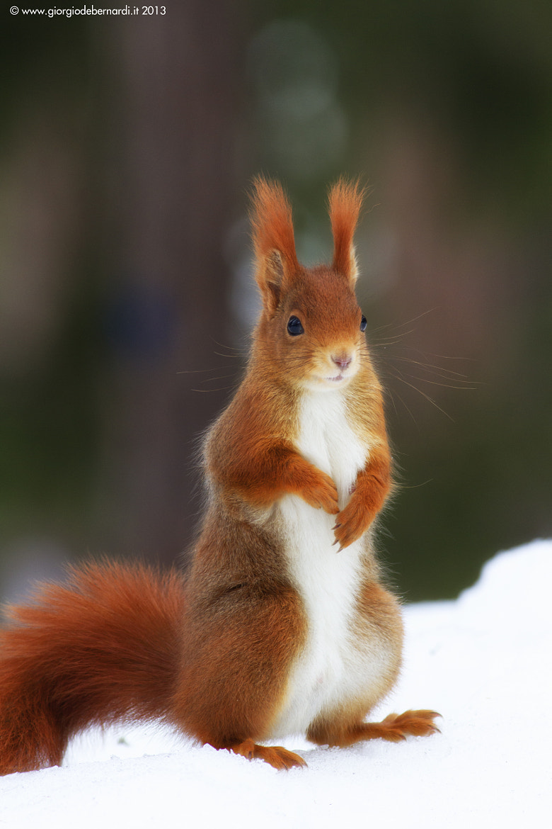 Photograph Red squirrel by giorgio debernardi on 500px