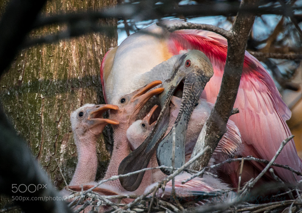 Photograph Dinnertime for the Spoonbill Chicks  by Wendy Kennedy on 500px