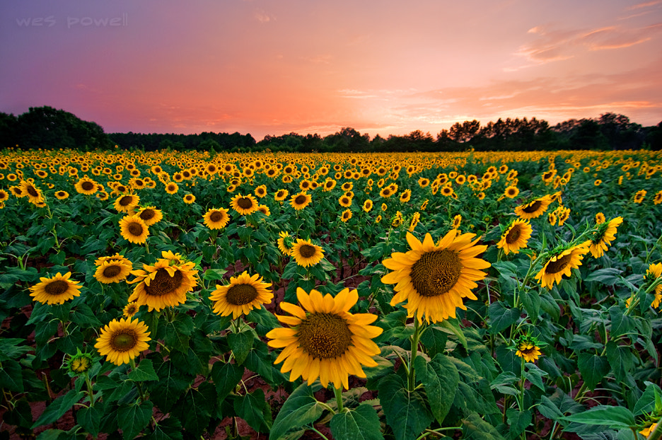 Photograph Sunflowers by Wes Powell on 500px