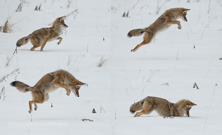 Photograph Coyote Hunting by Dan Newcomb on 500px