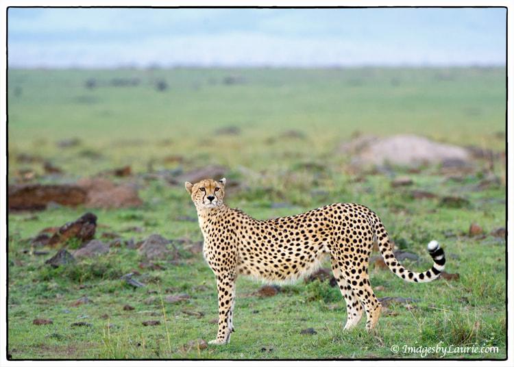 Cheetah Poser
