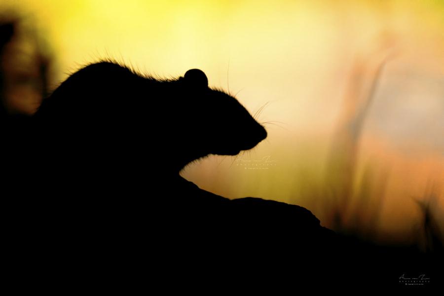 Just a wild rat..., автор — Arno van Zon на 500px.com